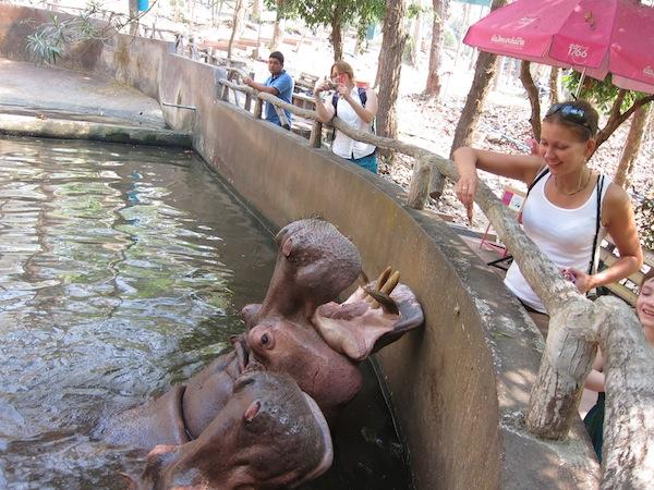 Гипопотам Зоопарк Чанг Май