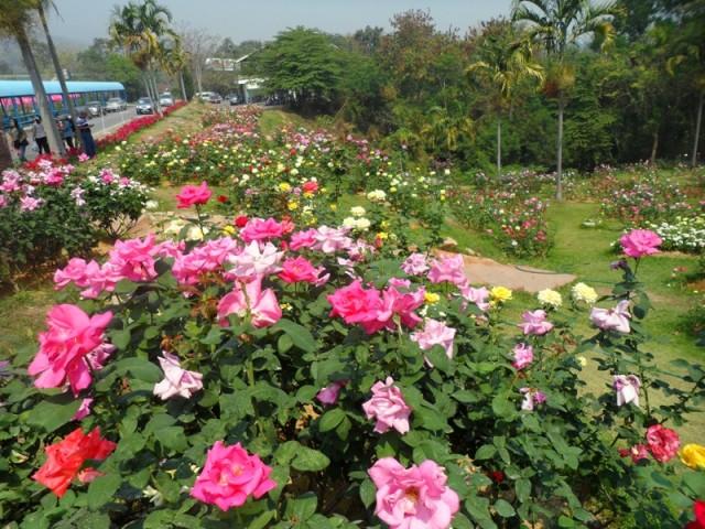 Сад из роз Таиланд