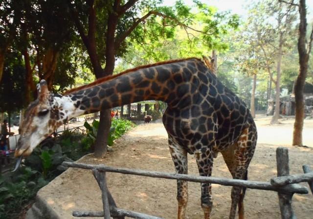 жираф зоопарк Чанг Май