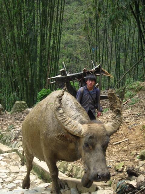 бык вьетнам